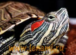 Красноухая черепаха pseudemys scripta это